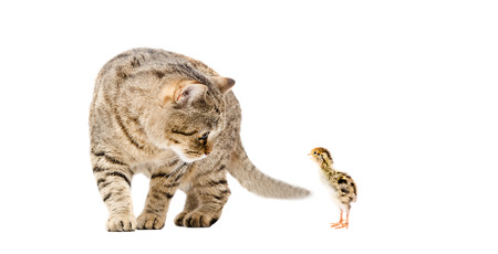 Cat and little quail together isolated on white background