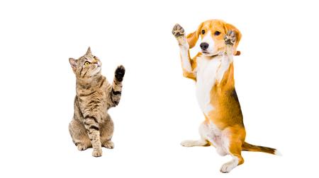 Funny beagle dog and playful cat Scottish Straight isolated on white background Stock Photo
