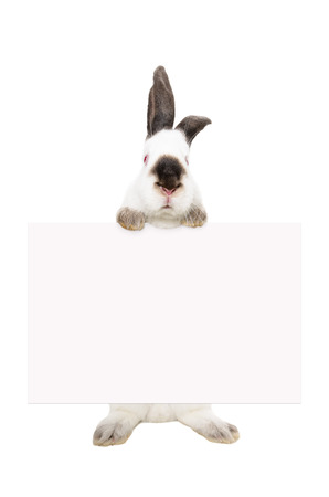 rabbit standing: Portrait of a white albino rabbit, standing with a banner, isolated on white background Stock Photo