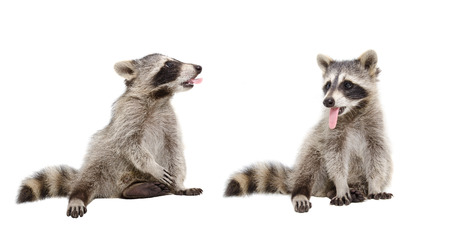 Two raccoons showing each other tongue, sitting isolated on white background Stock Photo