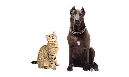 black and white pit bull: Staffordshire terrier and cat Scottish Straight, isolated on white background