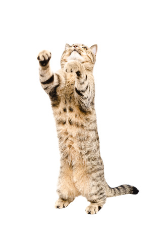 Playful cat Scottish Straight, standing on his hind legs, isolated on a white background