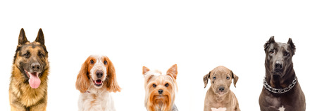 Portrait of five dogs together, closeup, isolated on white background Stock Photo
