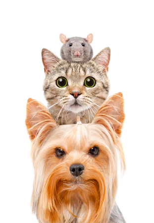 cat grooming: Funny portrait of a dog, a cat and a rat, closeup, isolated on white background