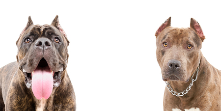 Portrait of two dogs, breed of Cane Corso and a pit bull, closeup, isolated on white background