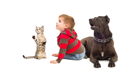 black and white pit bull: Curious child, a dog and kitten, isolated on a white background