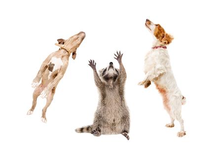 Raccoon and two dogs jumping together isolated on white background