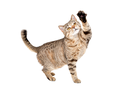 Funny cat Scottish Straight plays standing isolated on a white background