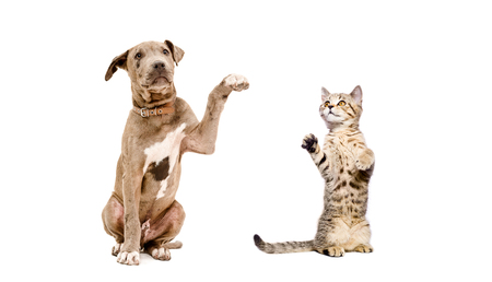Pit bull puppy and a kitten playing together isolated on white background Stock Photo
