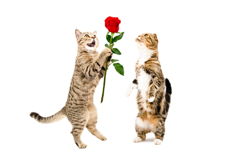 Cat presents a rose to a cat, standing on hind legs, isolated on white background