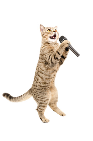 Cat Scottish Straight standing on hind legs with microphone isolated on white background