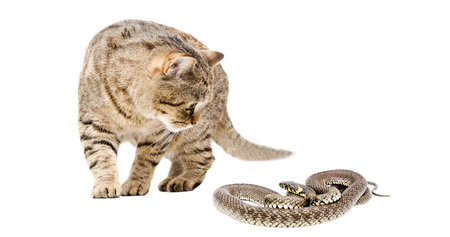 asp: Cat Scottish Straight and snake, isolated on white background