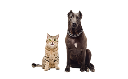black and white pit bull: Staffordshire terrier and funny cat Scottish Straight sitting together, isolated on white background