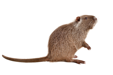 Portrait of a coypu, sitting in profile, isolated on white background