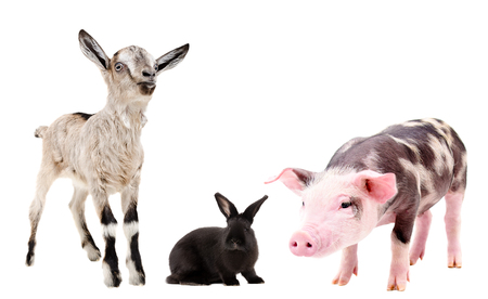 Goat, rabbit and pig, standing isolated on white background Banco de Imagens