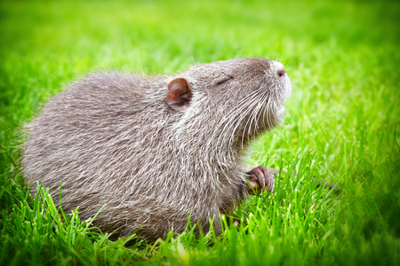 Portrait of a charming sniffing nutria, sitting in the grass Reklamní fotografie - 79219939