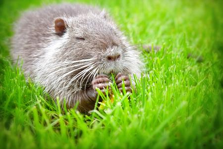 Portrait d'un ragondin drôle, manger un pissenlit, assis dans l'herbe