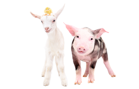 Little pig and goat with a chick on his head, standing together, isolated on white background Imagens