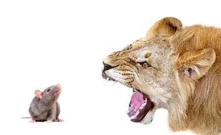 Portrait of a lion closeup, isolated on a white background Foto de archivo