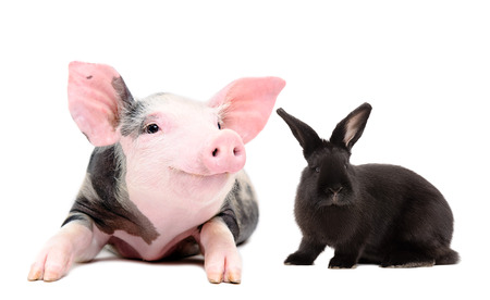 Portrait of a funny little pig and black rabbit, isolated on a white background