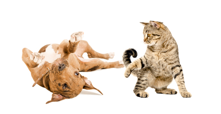 Funny pit bull puppy and playful cat Scottish Straight playing together, isolated on white background Stock Photo
