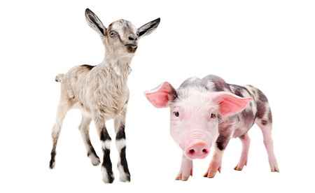 Little pig and goat, standing together, isolated on white background Stock Photo