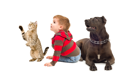 black and white pit bull: Curious boy, dog and playful cat, isolated on white background