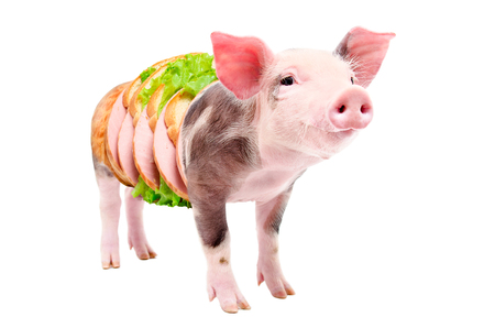Portrait of a pig getting into sandwich with sausage, isolated on white background