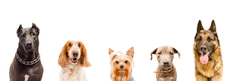 Portrait of five dogs, closeup, isolated on white background Stock Photo