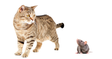 Cat Scottish Straight and gray rat, isolated on white background