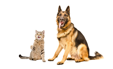 Funny cat Scottish Straight and German Shepherd dog, isolated on white background Stock Photo