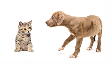 Meeting kitten Scottish Straight and puppy pitbull, isolated on white background