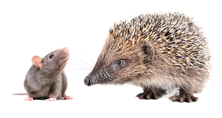 Portrait of a curious gray rat and cute hedgehog, isolated on white background Reklamní fotografie