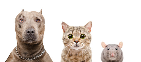 Portrait of a dog, cat and rat, closeup, isolated on white background