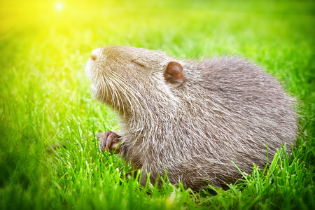 Portrait of a nutria, sitting in the grass in the sunlight