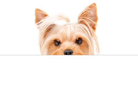 Portrait of a funny yorkshire terrier, peeking from behind a banner, isolated on white background Stock Photo