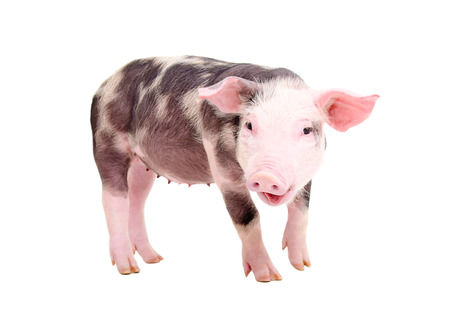 Portrait of a funny grunge pig standing isolated on white background