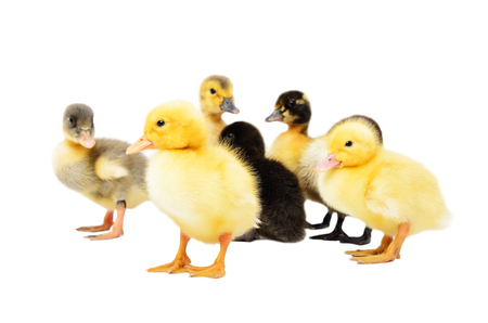 Group of little cute ducklings, standing together, isolated on white background