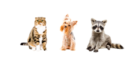 Cat, dog and raccoon sitting together, isolated on white background