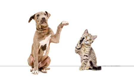 Playful puppy pit bull and kitten Scottish Straight, isolated on a white background Stock Photo