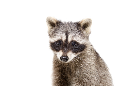 Portrait of a cute little raccoon isolated on white background