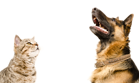 Scottish Straight cat and German Shepherd dog, looking up, isolated on white background