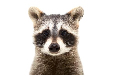 Portret van een leuke grappige die wasbeer, close-up, op witte achtergrond wordt geïsoleerd