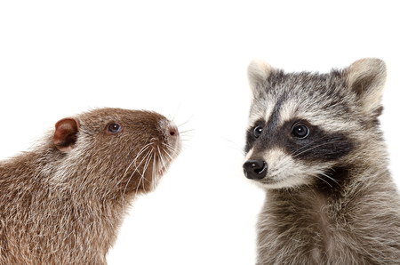 Portrait of nutria and raccoon, closeup, isolated on white background Stock Photo