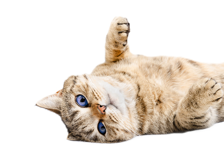 Charming cat, lying on his back, isolated on white background Stock Photo