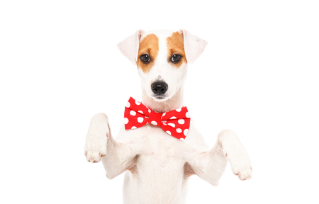 Portrait of a funny dog ??Jack Russell Terrier in a bow tie