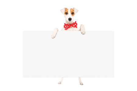 Funny dog ??Parson Russell Terrier in a bow tie, standing with a banner, isolated on white background Stock Photo