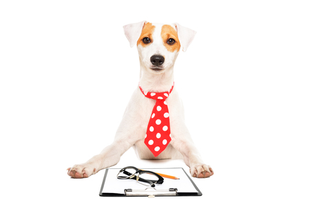 Portrait of a business dog Parson Russell Terrier