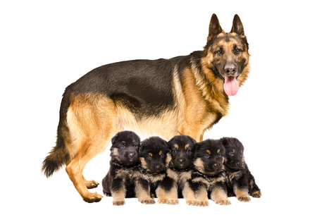 German Shepherd dog, standing with puppies, isolated on white background