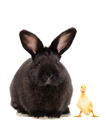 Black bunny and funny duckling, isolated on white background